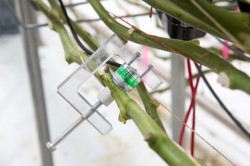 PSY1 Stem Psychrometer on Tomato Plant