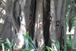 The 4 SFMs installed on the Moreton Bay Fig